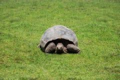 Grande tortue de terre Image stock