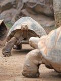 Grande tortue de terre Photographie stock libre de droits