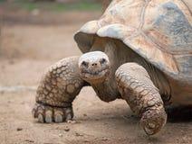 Grande tortue de terre Image libre de droits