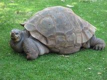 Grande tortue des Seychelles à Arequipa, Pérou Photo stock