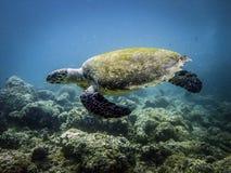 Grande tortue Espèce marine Images stock