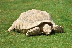 Grande tortue mangeant l'herbe Images libres de droits