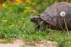 Grande tortue se tenant sur l'herbe Photographie stock libre de droits