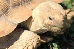 Grande tortue sur le mouvement Images stock
