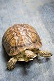 Grande tortue sur le plancher Images stock