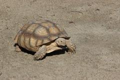 Grande tortue sur terre Photo libre de droits