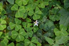 Grande trifoglio con il fiore rosa nel boschetto Big Sur California della sequoia fotografia stock