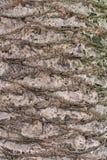 Grande tronco della palma Immagini Stock
