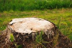 Grande troncone dall'albero tagliato strary fotografia stock