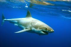 Grande tubarão branco imagens de stock