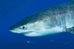 Grande tubarão branco Foto de Stock