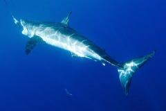 Grande tubarão branco Fotografia de Stock