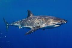 Grande tubarão branco Fotos de Stock