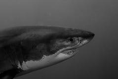 Grande tubarão branco Imagem de Stock