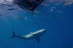 Grande tubarão branco Fotografia de Stock Royalty Free