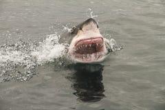 Grande tubarão branco do ataque foto de stock