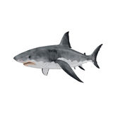 Grande tubarão branco no fundo branco Fotografia de Stock Royalty Free