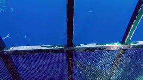 Grande tubarão branco vídeos de arquivo