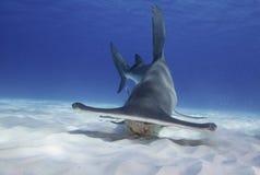 Grande tubarão de Hammerhead foto de stock royalty free