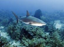 Grande tubarão do Cararibe do recife, roatan, honduras Imagens de Stock