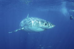 Grande tubarão mais branco Fotos de Stock