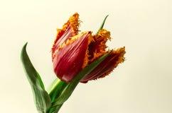 Grande tulipe rouge révélée avec la frange jaune le long des bords Image libre de droits
