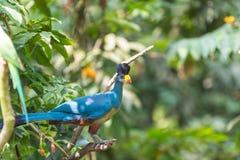 Grande Turaco blu Fotografia Stock Libera da Diritti