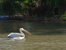 Grande uccello acquatico del becco del pellicano fotografia stock libera da diritti