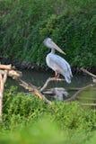 Grande uccello acquatico del becco del pellicano fotografie stock