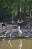 Grande uccello acquatico del becco del pellicano immagini stock