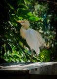Grande uccello bianco Fotografie Stock