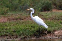 Grande uccello del Egret Fotografie Stock