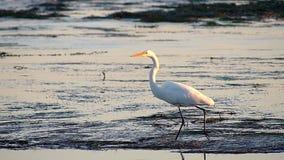 Grande uccello dell'egretta che cammina nelle pozze di marea archivi video