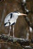 Grande uccello Grey Heron che si siede sull'albero con il fiocco ed il vento della neve Immagine Stock