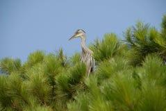Grande uccello nei pini Fotografia Stock Libera da Diritti