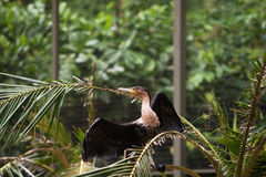 Grande uccello nero del cormorano con le ali nere che si siedono sul ramo Fotografia Stock Libera da Diritti