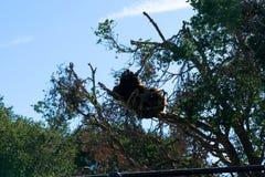 Grande urso de Brown na árvore - animal, organismo vivo, mamíferos fotografia de stock