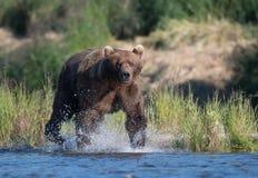 Grande urso marrom do Alasca Fotografia de Stock Royalty Free
