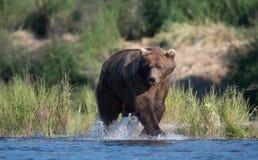 Grande urso marrom do Alasca Imagens de Stock Royalty Free