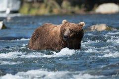 Grande urso marrom do Alasca no rio fotos de stock