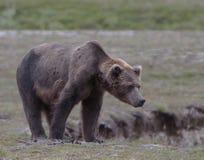 Grande urso pardo masculino Fotos de Stock Royalty Free