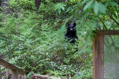 Grande urso preto Fotografia de Stock Royalty Free