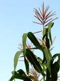 Grande usine de maïs photo stock