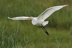 Grande vôo do Egret Imagens de Stock Royalty Free
