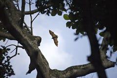 Grande vôo do megabat sobre a floresta em Bali imagens de stock