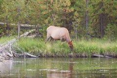 Grande vaca dos alces que alimenta perto do rio Fotos de Stock