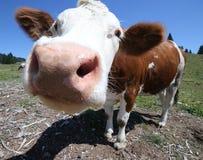 Grande vache à nez frôlant dans les montagnes photographie stock libre de droits