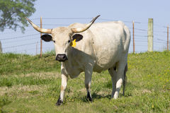 Grande vache femelle à Longhorn Images libres de droits