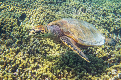 Grande vecchia tartaruga Immagine Stock