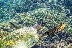 Grande vecchia tartaruga Fotografia Stock